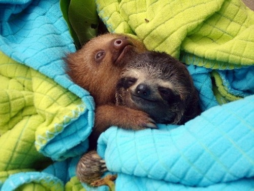 end0skeletal:  (via Sloth Hugs | CuteStuff.co - Cute Animals, Cute Pictures, Cute Videos and MORE!)