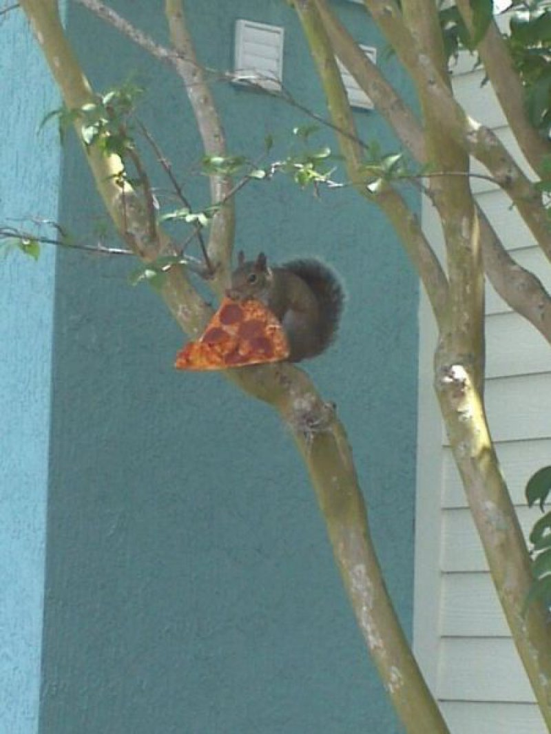 collegehumor:  Squirrel Has the Munchies It was a good day until the pizza got hit by a car.