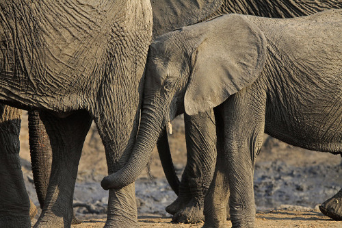 theanimalblog:  An affectionate elephant in the Hwange National Park, Zimbabwe.  Allan Grey of Oakham, Rutland