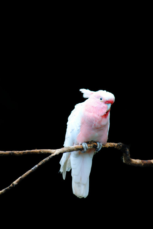 earth-song:  Major Mitchell's Cockatoo by =SarahVlad