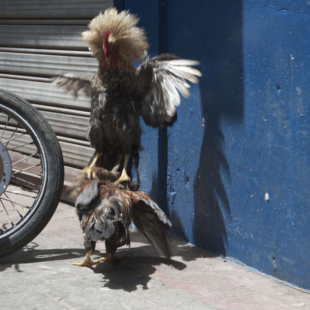 Cock Fight-Dominican Republic