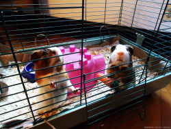 We demand food! #guineapigs #photography #pets  Aug 2012. Chicago, IL.