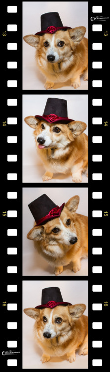 A hat on a puppy does not a party make. Unless it's on a Corgi.