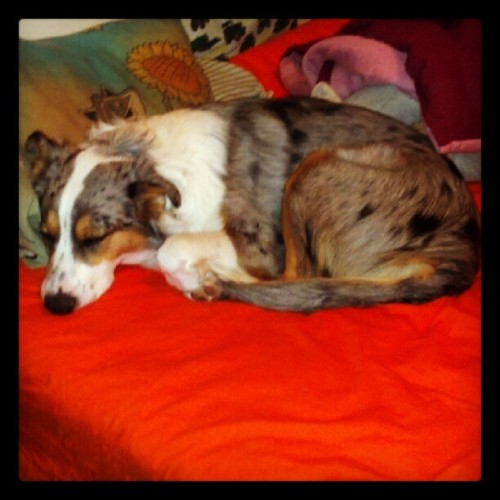 #day3 #cuddlebuddy my pup Chassis =) <3 him! (Taken with Instagram)