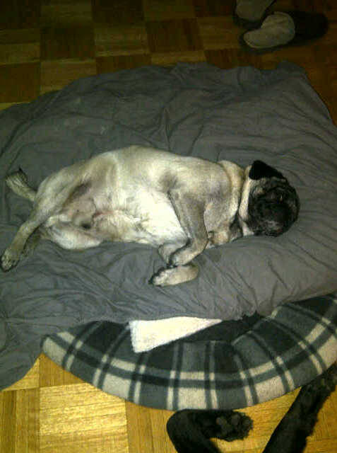 Wake me when Monday is over, Puggie says! (submitted by Dessie!)