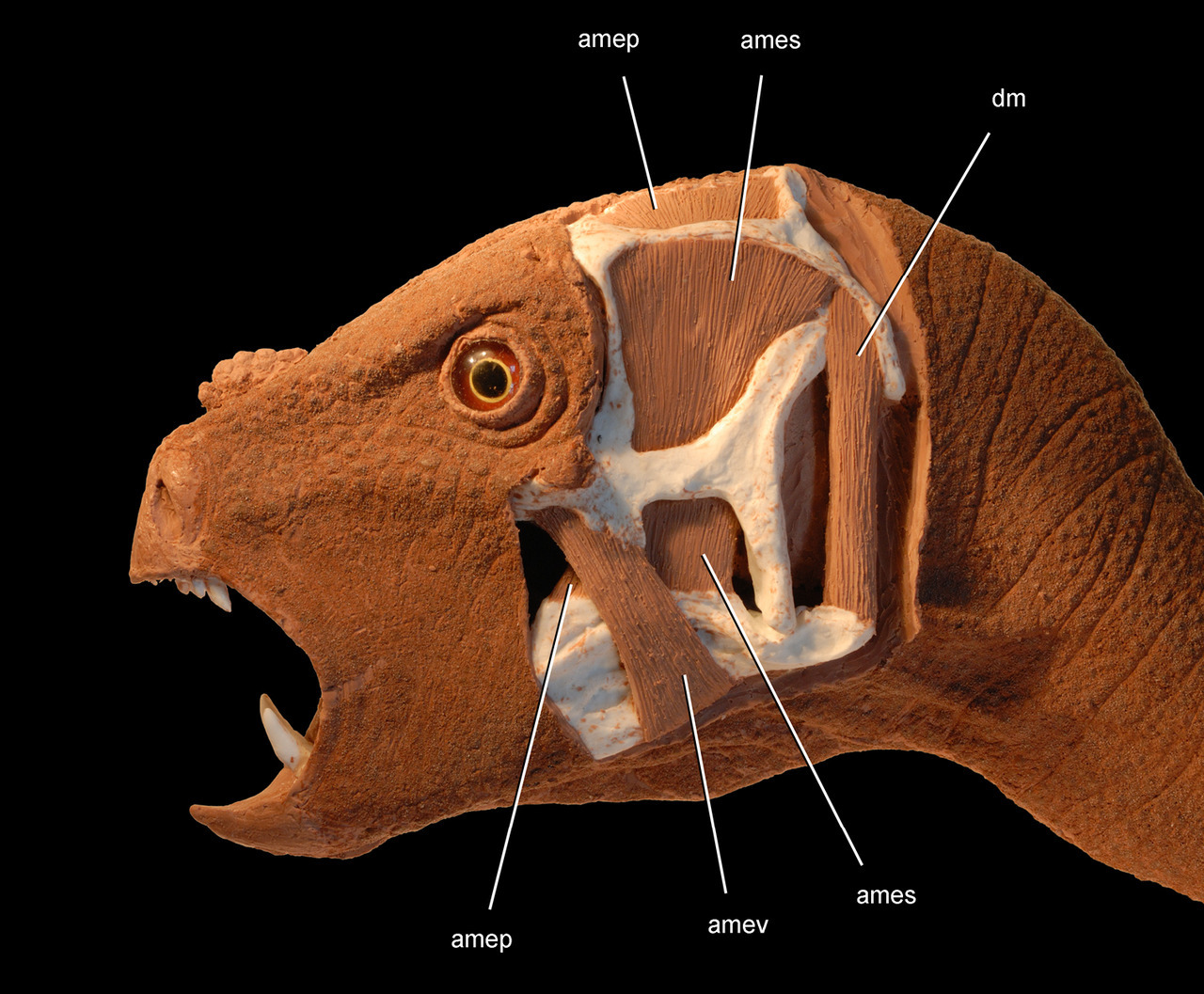 "dailymedical:  Dracula Dinosaur Newly Described, ""Would Be Nice Pet"" The newly discovered dinosaur is a herbivorous species with a parrot-like beak and, strangely, sharp canines sitting in front of tall teeth meant to cut up plants. A strange and tiny dinosaur has just been documented for the first time in scientific literature. Almost as strange as its physical appearance, was its journey to being described. Fossils of the family of this dinosaur, called Pegomastax africanus or ""thick jaw from Africa,"" have appeared everywhere from China to England. It was first discovered 50 years ago in South Africa but was soon scooped up by Harvard University. The fossils were never described and then, when it was shipped back to Cape Town's South African Museum, the true nature of the fossils remained undiscovered. Read more  #iVantToSuckYourBruhathkayosaurus"