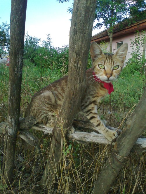 Cat from Fetesti, country side in Romania.