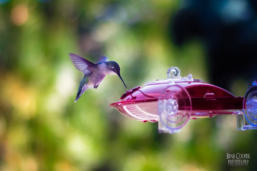 Hummingbird: Feeding in Flight