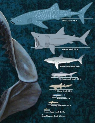 rhamphotheca:  What is the Biggest Shark? A Chart Shows the Diversity of Shark Sizes Sharks come in all sizes. The largest is the whale shark, which has been known to get as large as 18 meters (60 feet). The smallest fits in your hand. Find out how these modern sharks stack up against the ancient Carcharodon megalodon. And if you're a fan of great white sharks, you can download a shark-themed board game, track a shark named Omoo, and listen to a podcast about the species on our Great White Shark section. (via: Smithsonian Ocean Portal) (image: © Courtesy of the Aquarium of the Pacific, Long Beach, California)