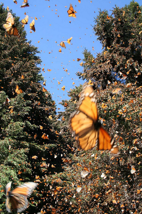 fogbaby:  in mexico we believe that monarch butterflies are the souls of our loved ones that have passed on… their migration and arrival in mexico coincides with los dias de los muertos. and so our loved ones return to join us, for a time, for a celebration of love, memory, and family