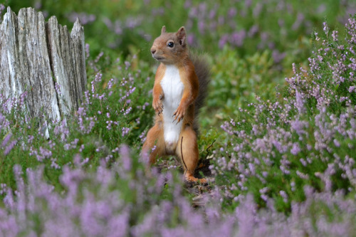 Quick Draw McSquirrel Red Squirrel in the Cairngorms ready for a showdown at the O.K Corral (by ColandSara)