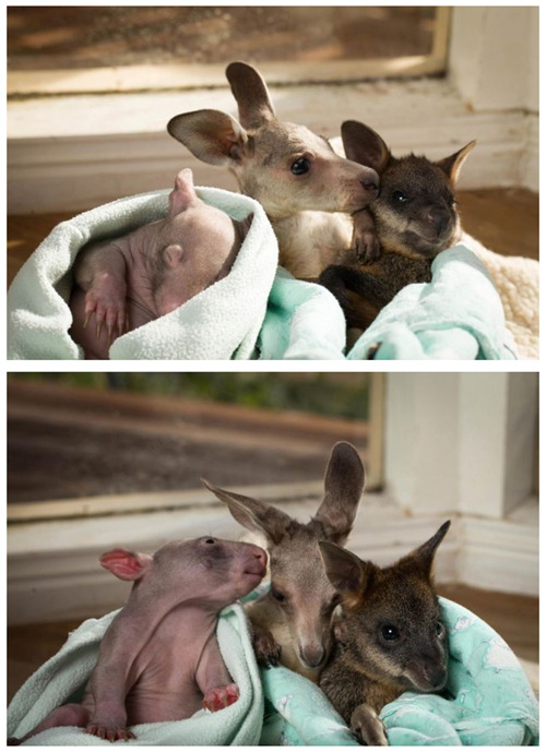 thedailywhat:  Early Bird Special: Remember Anzac the joey and Peggy the wombat,the marsupial orphans who were rescued and became besties? Now they've got a third lil pal — meet Cupcake the swamp wallaby, who like her pals, was orphaned when a car accident took mom. The trio, who live at Australia's Wildabout Wildlife Rescue Center, all are about 4 to 5 months old. [zooborns]
