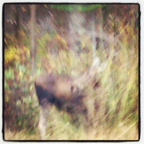 MOOSE! I Think I've Just Found Dinner ;-) (Taken with Instagram at University of Northern British Columbia)
