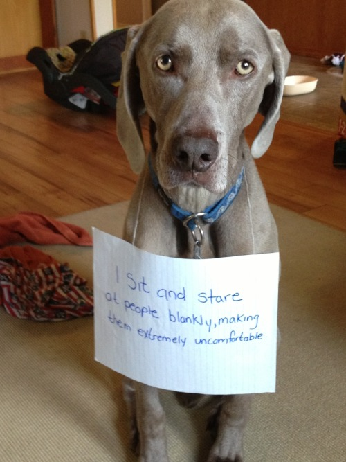 dogshaming:  My roommate's dog Apollo, follows people around the house and just stares. Around corners, doorways, he just appears and stares at you