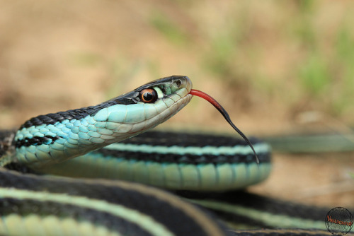 Western Ribbon Snake by Kenneth Gisi on Flickr.
