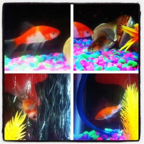 #picstitch so these are my new fish. These are the best pics I could get. If they survive the week I'll give them names. (Taken with Instagram)