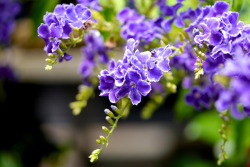 Duranta by Yorkey&Rin on Flickr.