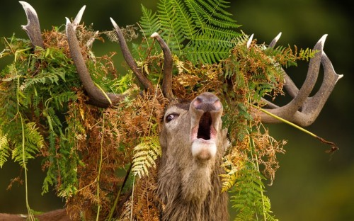 phototoartguy:  A stag roars while wearing a crown of bracken during the rutting season in Richmond Park. Picture: Mark Smith/Solent News