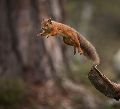 legs-up-and-down:  Red Squirrel jumping away with mouthful of food by Margaret J Walker on Flickr.  Squirrel!