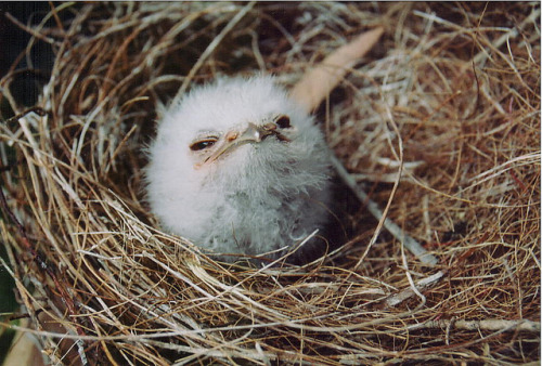 khamaeleo:  tawny frogmouth - nestling by bowerbird enigma on Flickr.