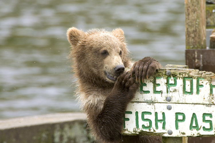 "Image description: A Kodiak bear cub chews on a sign that reads, ""KEEP OFF"" at Kodiak National Wildlife Refuge in Alaska. Photo by Steve Hildebrand, U.S. Fish and Wildlife Service."