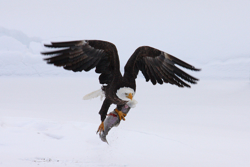 Image description: A bald eagle takes flight with a rainbow trout dinner at D.C. Booth Historic National Fish Hatchery in Spearfish, South Dakota. Photo by Steve Fairbairn, U.S. Fish and Wildlife Service Mountain-Prairies Region