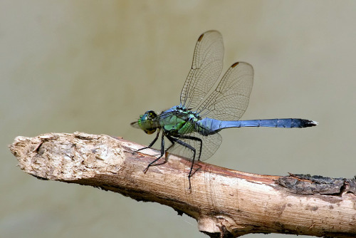 2013 Dragonflies of North America Calendar Produced by the Xerces Society, this 9.5″ x 12″ calendar features stunning photography of these dramatic insects, accompanied by brief notes about their natural history, behaviors, and conservation needs. Month by month you will discover new facts about dragonflies and damselflies, learn about how you can watch them in the wild, and find out how you can contribute to citizen-science projects tracking dragonflies as they migrate from Canada to Mexico. The Xerces Society is a nonprofit organization that protects wildlife through the conservation of invertebrates and their habitat. For forty years, the Society has been at the forefront of invertebrate protection worldwide, harnessing the knowledge of scientists and the enthusiasm of citizens to implement conservation programs. Preview the calendar. $15 each and include shipment by USPS to US addresses, 2-3 weeks arrival.  (order your calender here)   (photo: male Eastern Pondhawk -  TexasEagle | Flickr)