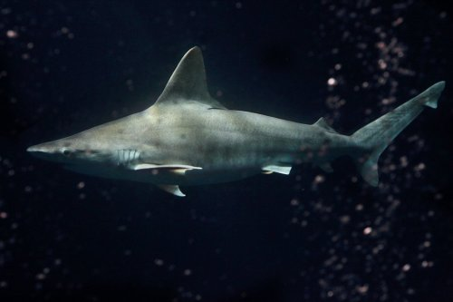 Love sharks? We just added a beautiful sandbar shark to the Open Sea exhibit. Believe it or not, this shark originally came from Hawaii on an airplane. Since then, it's been growing up  behind the scenes at our Animal Research and Care Center in Marina, until we felt it was large enough to go on display! Watch now on our live web cam! Learn how we're helping save sharks.