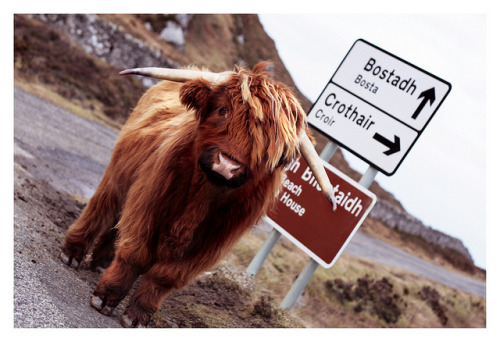 absolutescotland:  moooo! by keevsie on Flickr.