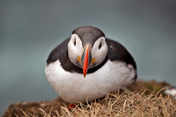 animals-animals-animals:  Atlantic Puffin (by Ismael Quintana)