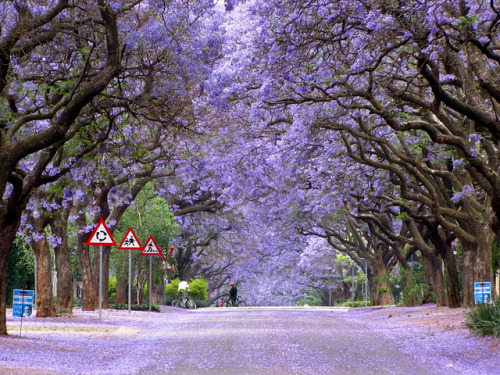 visitheworld:  Jacaranda lined Marais street in Pretoria, South Africa (by Falke).