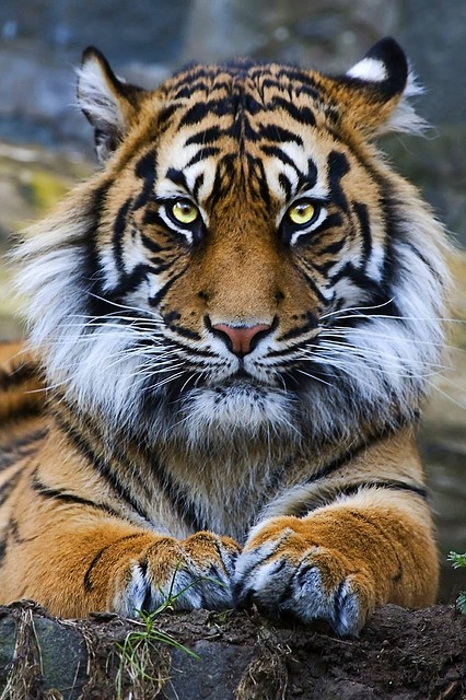 earthlynation:  beautiful tiger source