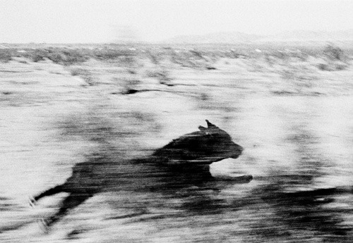 John Divola - Dogs chasing my car in the desert