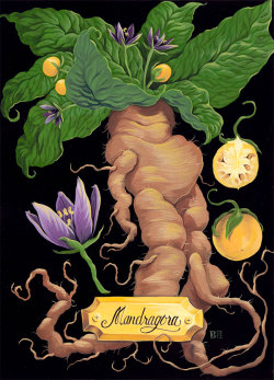 thepoisondiaries:  brittwilson:  Mandrake Root, painted in gouache, 5x7 in.   Legend has it that when the root of the Mandrake is dug up it screams out and kills all who hear it. It was also common in folklore that it would only grow where the semen of hanged man had dripped to the ground…