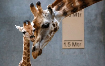 theanimalblog:  Dagmar the Rothschild giraffe nuzzles her newborn calf in their enclosure at Chester Zoo in Cheshire, England  Picture: REUTERS/Phil Noble
