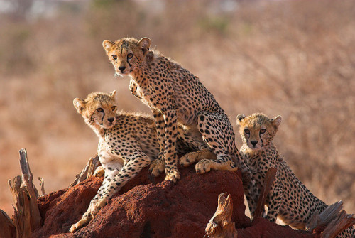 tigersandcompany:  Cheetah cubs on a termite hill (by craig.wilson51)