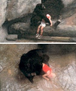 derekfett:  reaperliesinwait:  Binti Jua is a western lowland gorilla female in the Brookfield Zoo, in Brookfield, Illinois. Binti is most well known for an incident which occurred on August 16, 1996, when she was eight years old. A three-year old boy climbed the wall around her zoo enclosure and fell 18 feet onto concrete below, rendering him unconscious with a broken hand and a vicious gash on the side of his face. Binti walked to the boy's side while helpless spectators screamed, certain the gorilla would harm the child. Another larger female gorilla approached, and Binti growled. Binti picked up the child, cradling him with her right arm as she did her own infant, gave him a few pats on the back, and carried him 18 meters (59 ft) to an access entrance, so that zoo personnel could retrieve him. Her 17-month-old baby, Koola, clutched her back throughout the incident. The boy spent four days in the hospital and recovered fully.  Things like this make us wonder who are the real animals