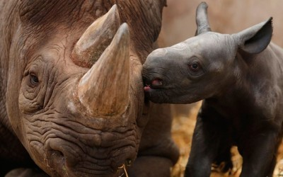 allcreatures:   Ema Elsa, a nine-year-old black rhino, is nuzzled by her newborn calf in their enclosure at Chester Zoo in Cheshire, England. The female calf will join an international breeding programme for the critically endangered species.  Picture: REUTERS/Phil Noble (via Animal pictures of the week: 5 October 2012 - Telegraph)