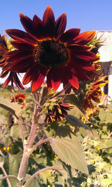 sunshinefourtwenty:  Red sunflower :)