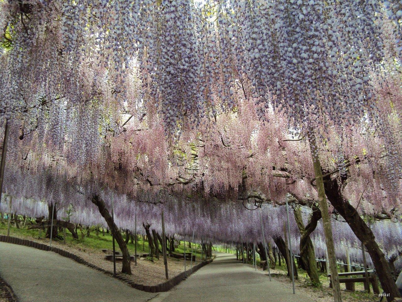 Fuji Matsuri, or the Wisteria Festival. Kawachi Fuji Garden, near Tokyo.