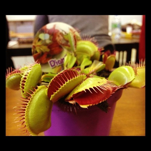 Gibb brought a Venus Flytrap to biology! #biology #plant #picture #carnivore (Taken with Instagram)