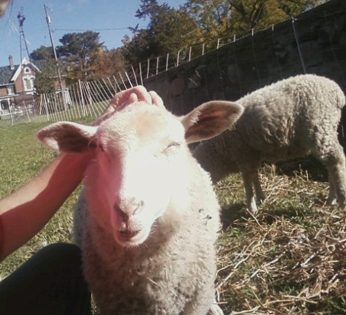 Reunited and it feels so good! I sent two of my bottle-raised orphan lambs to live with a very nice lady but she couldn't keep them, so a few months later they're back home. Judging by the expression on Patch's face, I'm not the only one thrilled by this. - this brave bird (formerly vanillawaif)