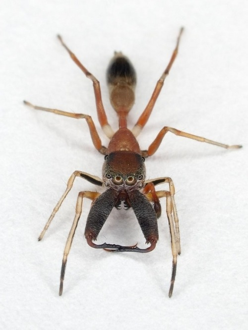 rhamphotheca:  A new species of Ant-mimic Jumping Spider, discovered on a recent expedition to Mount Kinabalu, in the Malaysian state of Sabah on the island of Borneo, in the Indonesian Archipelago. (photo:Peter Koomen)