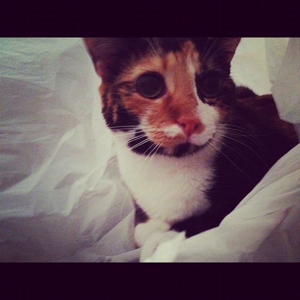 Chihiro is obsessed with plastic bags #kitties #cats #crazycatlady (Taken with Instagram)