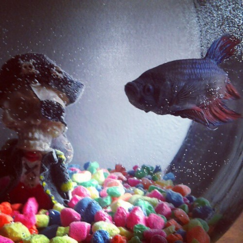 #monster#bettafish#thedarklord#pirates (Taken with Instagram)