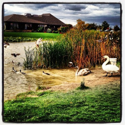 From the golf course #swan #ducks #pond / on Instagram http://instagr.am/p/QdXdULHy58/