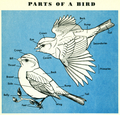 theshinyboogie:  Birds, a Golden Nature Guide (1956)