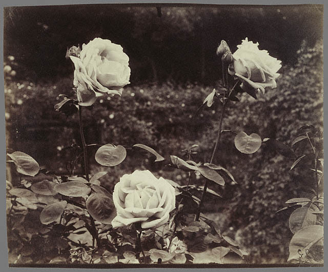 Roses by Eugéne Atget, Paris c. 1922