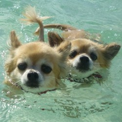 @chihuahuapeopleunited #ig #swimming #precious  (Taken with Instagram)