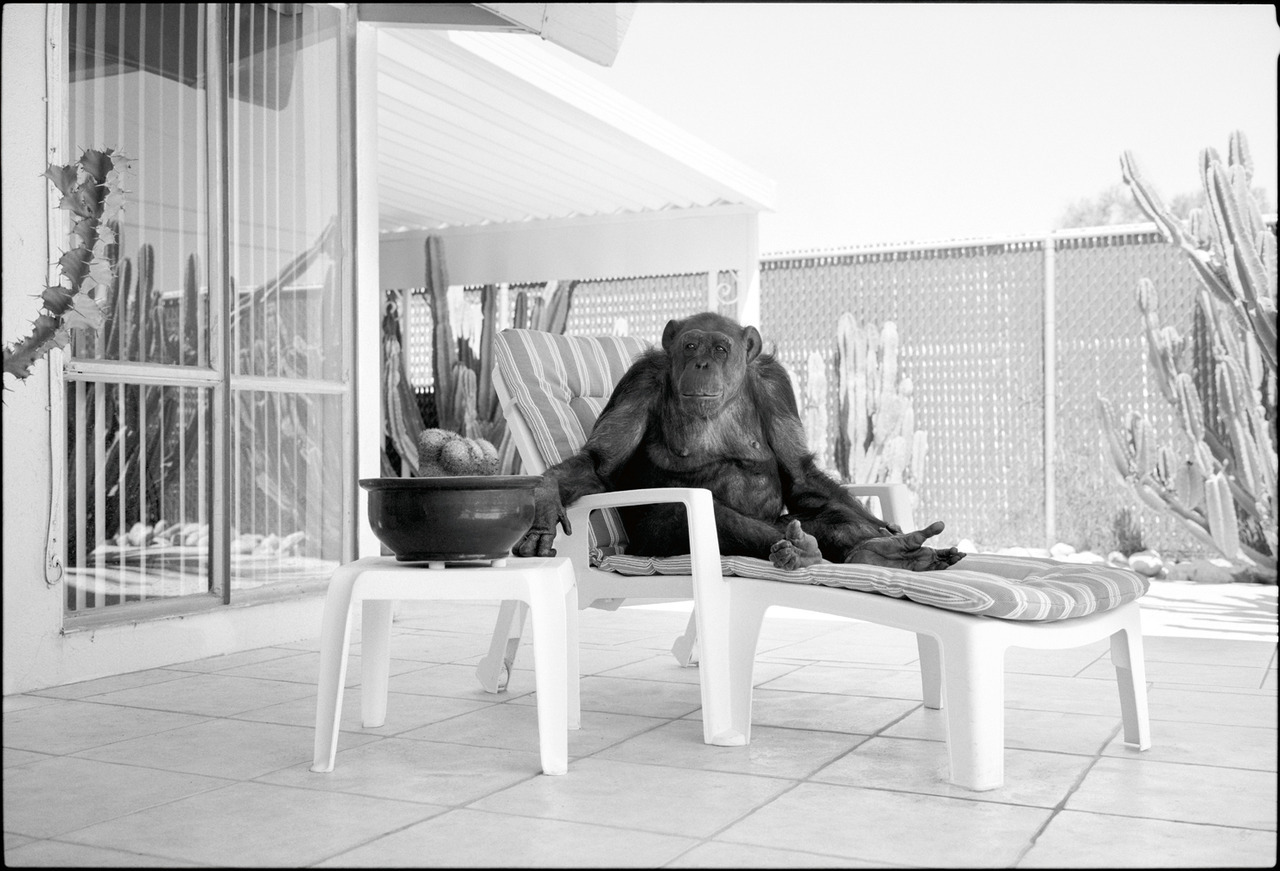 "Chimpanzee sitting poolside, Palm Springs, CA In 2006 I ran across a news item - the chimpanzee that portrayed Cheeta in all of the Johnny Weismuller-era Tarzan movies from the 1930s was turning 74 years old, and not only that, the article stated that he was the world's oldest living non-human primate as verified by the Guinness Book of World Records. I found it incredible that he was still alive… he must have outlived everyone else involved with those movies, cast and crew. Not to mention the fact that he had lived more than 20 years longer than the average lifespan of a chimpanzee. This was one fantastic specimen of simianity and story-wise it was right down my alley. I immediately put a call through to Palm Springs, CA where Cheeta was living out his retirement years with Dan Westfall, the nephew of Tony Gentry, Cheeta's original owner and trainer. I told him I wanted to fly to California as soon as possible to do a portrait of Cheeta, which he agreed to, and two days later I was pulling my rental car up in front of the modest ranch-style house in a nondescript neighborhood on the edge of Palm Springs that Cheeta called home. Westfall greeted me at the front door and gave me a tour of the house. First I was shown the refrigerator that Cheeta would open to help himself to ice cream and soft drinks, both of which he enjoyed. I was also led to the couch in the den where Cheeta would sit and smoke cigars, maybe even have a beer, while staring at his face on the the TV screen where the old Tarzan movies were on frequent replay for just this purpose. I was then taken into another room and shown numerous paintings that Cheeta had done, all abstract, non-representational, a style in which he seemed fluent. I kind of liked them. He would sign the paintings, fans would buy them, and the proceeds would go towards his own care and upkeep - in a way he was selling pictures to pay his rent and it was then that I felt on equal footing with the monkey. Once I had my camera set up, Cheeta was brought out of the large enclosure in the backyard where he spends a lot of his time. He looked his age as he loped towards me, moving slow but purposefully with grey streaks through his hair and a seen-it-all, rheumy-eyed countenance that I'd observed on more than one retired showbiz face, yet I was told not to be fooled by his seemingly resigned behavior - he still had the strength of 5 men and in the rare event that he made a move for me I was told to dive into the pool behind me. Cheeta hates the water. This was a few years before Charla Nash had her hands and face removed by Travis, the berserk Connecticut chimpanzee, otherwise I may have kept one foot in the pool. The shoot went fine, I got what I wanted, I flew back home. The following year there was mention in the papers again about his birthday, same angle - Tarzan, cigars, Oldest… Then, in December of 2008, an article appeared in the Washington Post by a man named R.D. Rosen. Rosen had been retained by Westfall to write the ""authorized biography"" of Cheeta. However, during his research for the book proposal that he and Westfall were going to present to publishers, Rosen started discovering some unsettling facts. For starters, there were many chimpanzees that portrayed Cheeta in those early Tarzan movies, sometimes different chimps within the same film even, each performing bits that they were especially suited for. There never was one Cheeta. But it got worse. After extensive research, Rosen discovered that ""Cheeta"" was only in his 40s and wasn't even alive when the early Tarzan movies were made - he had, as it turned out, appeared in exactly none of them. Also, Westfall was Gentry's distant cousin, not his nephew. It continued from there with the the entire story of Cheeta - when and where he came from, what he did, various lies and embellishments either purposely created or lazily perpetuated - all unraveling. A telling moment from Rosen's article is when the famed primatologist Jane Goodall paid a visit to the legendary chimpanzee in 2008 and remarked to Westfall, ""Why, he doesn't look any older than 45."" Rosen's detailed article debunking the Cheeta story is here and it's worth reading. I was understandably disappointed to find out this news. Not so much for the time and money spent to get the photo or even for the vague feeling that I was duped, but mostly because it was a good bar story, the one about Cheeta anyway, one that got better each time I retold it, not unlike Gentry's, perhaps. But by now it had lapsed into a very short and dull telling of me flying across the country to photograph a nobody monkey. Over time I started thinking more about ""Cheeta"", this imposter ape upon who's hairy back fame had been foisted, spending a life not of reaming out termite holes on a damp jungle floor but of cigar smoke, cold beer on poolside chaises, whiling away his well earned ""retirement"" in the Palm Springs sun when not crouched in his studio popping off another, I'm sure I can say this here, primitive abstract. And what must he have thought about being exposed to, for decades on end… there he is again, that naked ape in a loincloth… Johnny Weismuller's face and Tarzanic caterwaul, replayed on the TV eternally… and on every publicity 8x10 that ""Cheeta"" would sign for fans. If I continue to pretend to be a part of this narrative, the cigars will keep coming… Most likely he didn't know the difference… he'd lived this way so long he probably figured that opening the fridge and helping yourself to the strawberry ice cream is what every ape did. But I wonder if in the back of his mind he didn't realize that he was getting away with a pretty good thing and just decided to sit back and stick to a simple mantra: ""I'm not saying a word."""